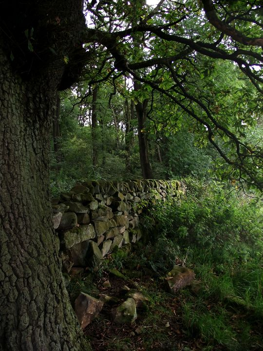 Oak at the wall - Maili J McQuaid
