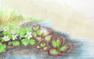 Crowfoot, Ranunculus aquatilis - Maili J McQuaid