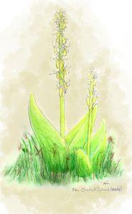 Fen orchid- Liparis loeselii