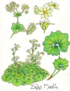 Lady's mantle- Alchemilla vulgaris
