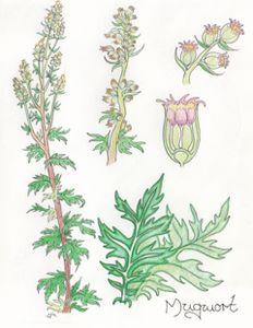 Mugwort, Artemisia vulgaris - Maili J McQuaid