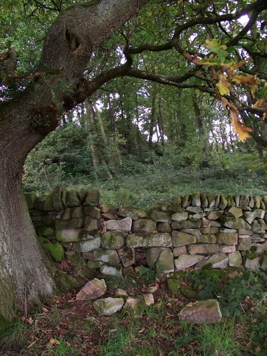 Oak at the Wall no. 2 - Maili J McQuaid