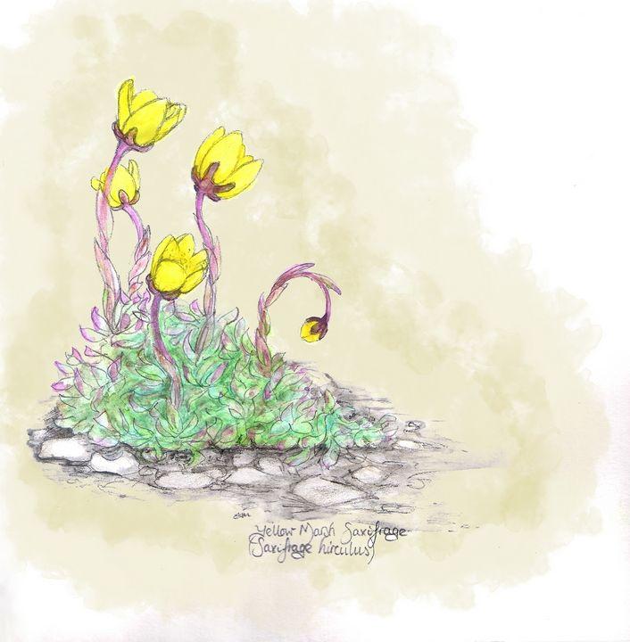 Yellow marsh saxifrage - Maili J McQuaid