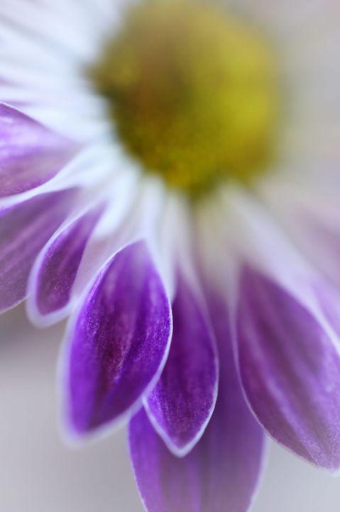 Daisy Petals Macro - Brian Raggatt