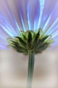 Macro Daisy flower