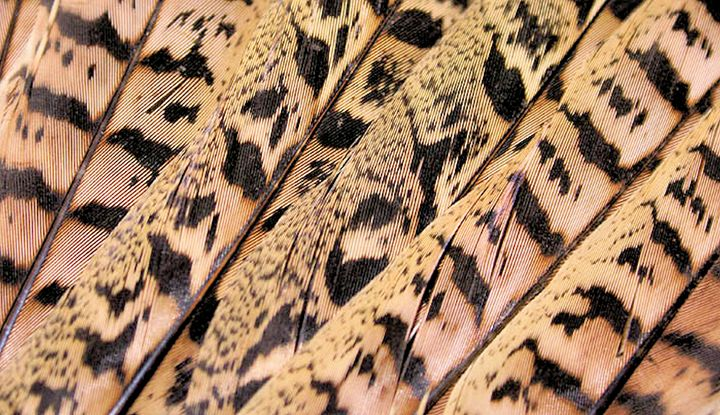 Pheasant Feathers abstract - Brian Raggatt
