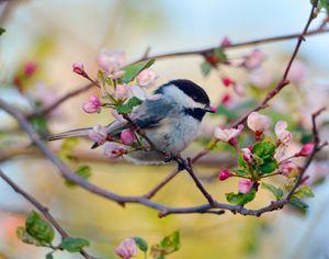Apple Blossom Chickadee