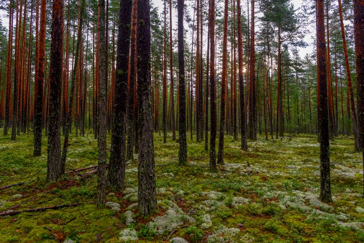 wet pine forest at sunrise - yarvin13