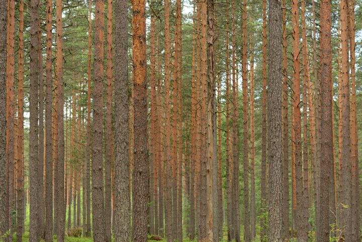 Slender tree trunks of a pine forest - yarvin13
