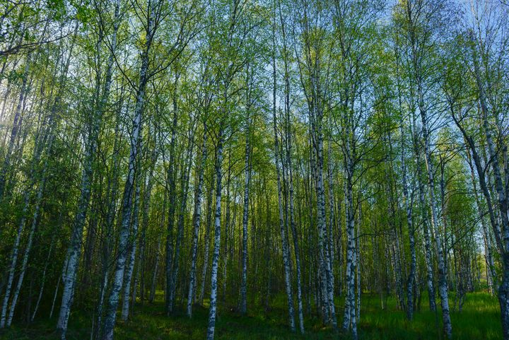 birch forest in the spring morning - yarvin13