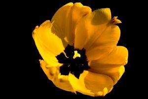 Tulip flower on a black background