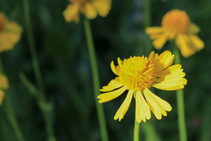 Yellow Aster Wildflower - TWT Photography