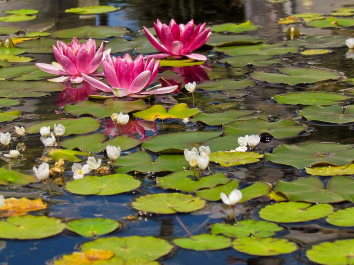 Water Lillies - TWT Photography