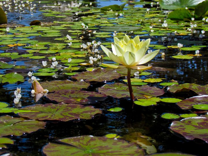 Lilly of the Pond - TWT Photography