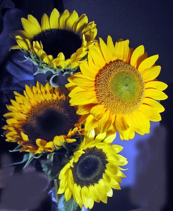 Sunflowers with Blu - francine mabie
