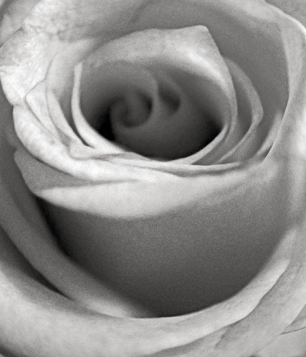 Jasmine White Rose - francine mabie