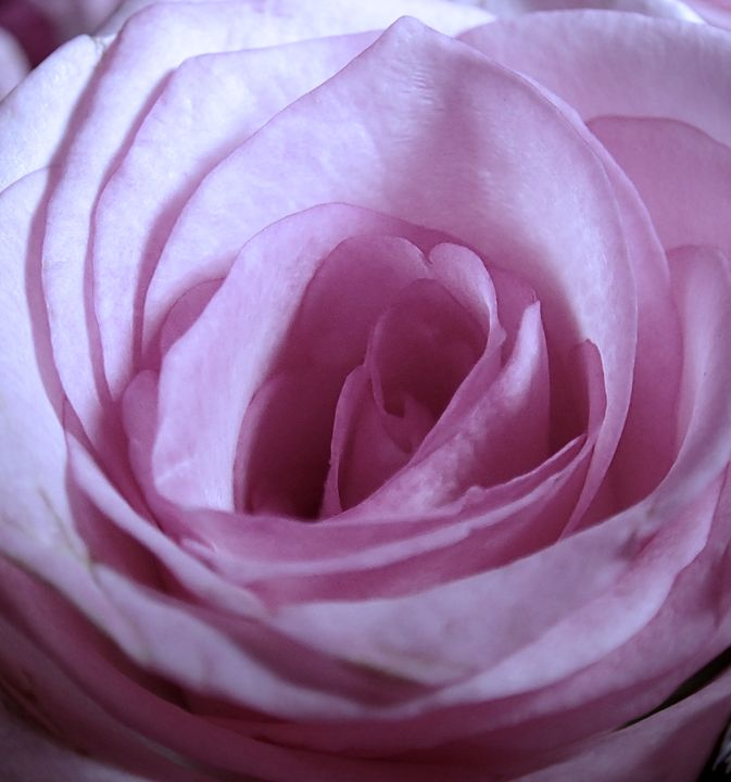 Teresa's Rose - francine mabie