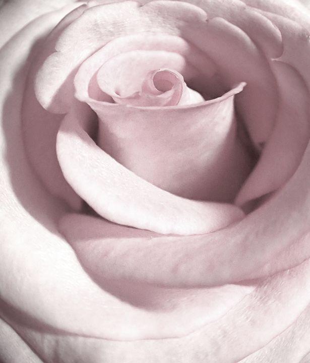 Porcelain White Rose - francine mabie