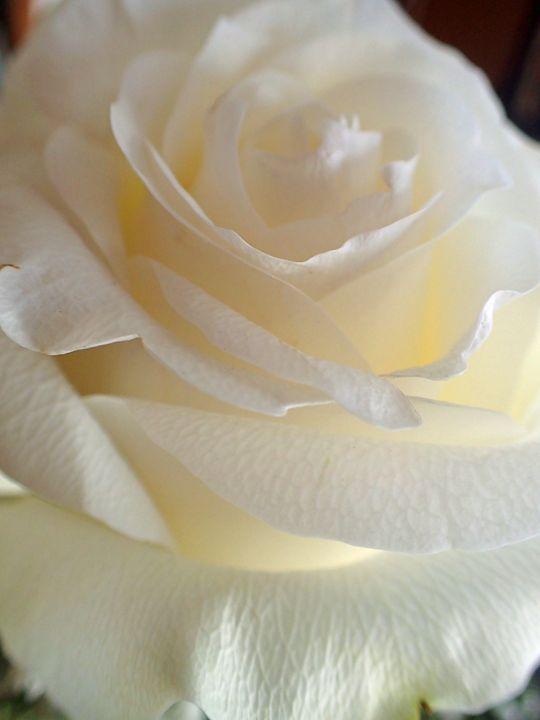 Rose #1 - francine mabie
