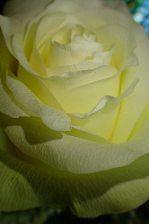 Rose #2 - francine mabie
