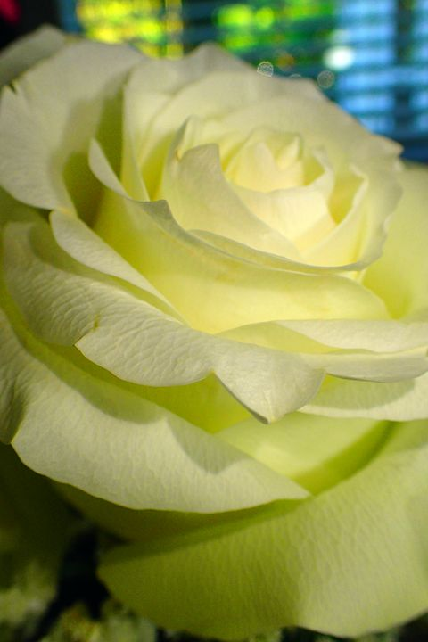 Rose #7 - francine mabie
