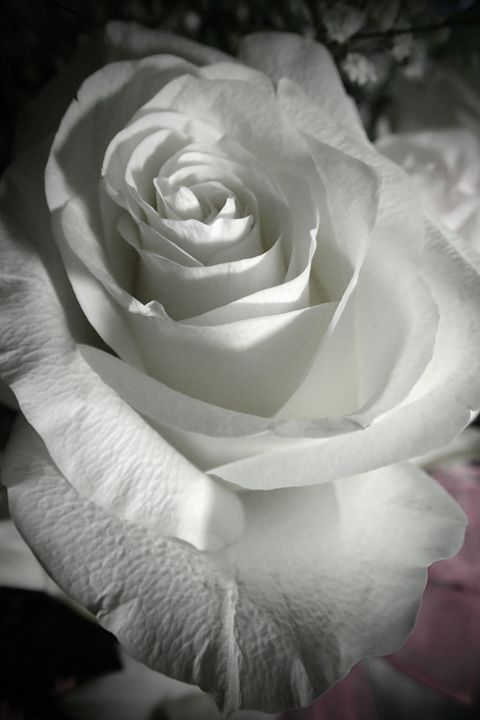 Rose #10 - francine mabie