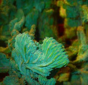 Focus Cactus II