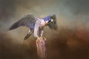 Peregrine Falcon Taking Flight
