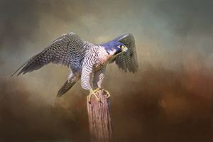 Peregrine Falcon Taking Flight - Sharon McConnell