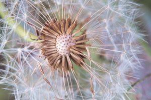 Dandelion Delicacy