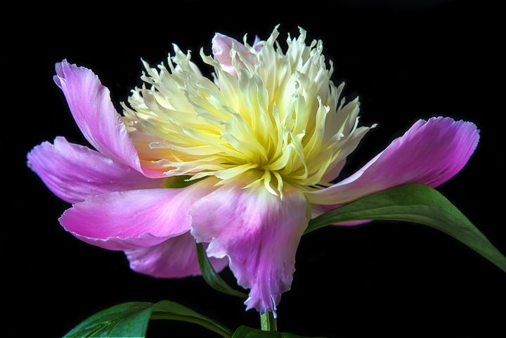 Peony On Black - Sharon McConnell