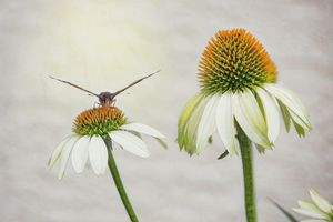 Butterfly On White Coneflower