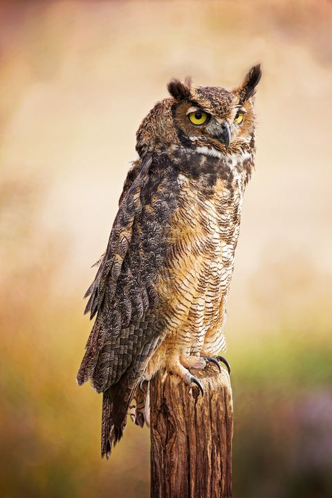 Great Horned Owl In Evening Light - Sharon McConnell