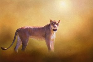 Lioness In The Golden Sun