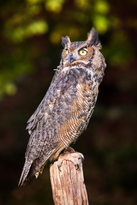 Great Horned Owl On Watch - Sharon McConnell