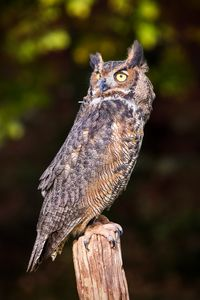 Great Horned Owl On Watch