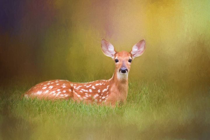 White Tailed Deer Fawn - Sharon McConnell