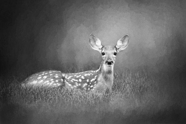 White Tailed Deer Fawn BW - Sharon McConnell