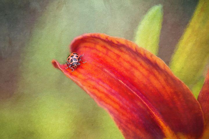 Ladybug On Orang Lily - Sharon McConnell