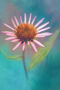 Pink Coneflower On Blue