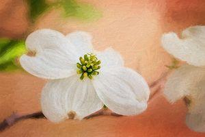 Dogwood Blossom Painterly Peach