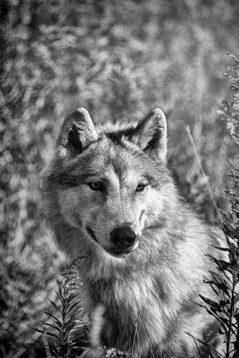 Gray Wolf Watchful Black And White - Sharon McConnell