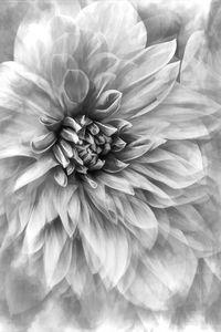 Dahlia Dream Vertical Black And Whit