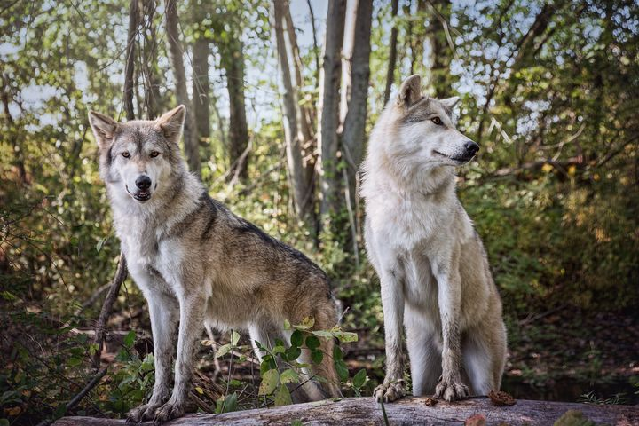 Gray Timber Wolves - Sharon McConnell