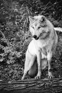 Gray Timber Wolf Black And White