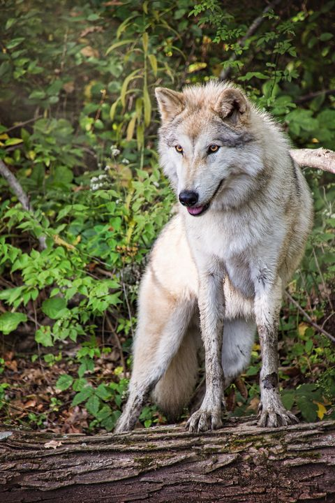 Gray Timber Wolf - Sharon McConnell