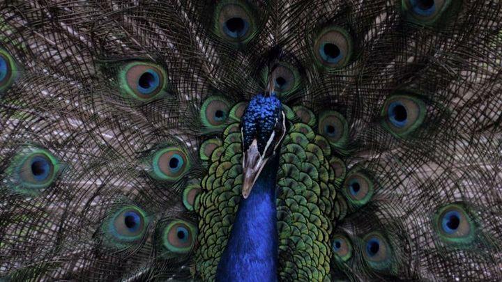 Peacock2 - Shotzbynoah