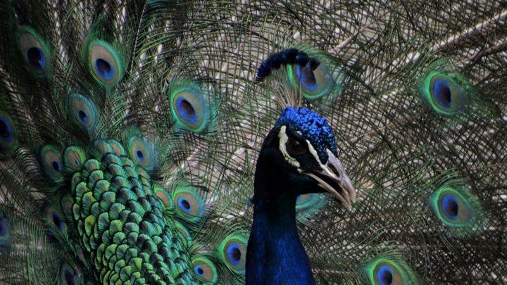 Peacock1 - Shotzbynoah