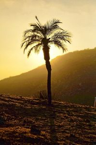 Lone Palm Tree at Sunset
