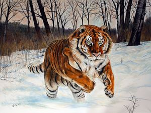 Beautiful tiger running in the snow